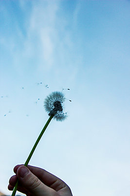Hand holding dandelion clock, seeds in the wind - p879m2204231 by nico
