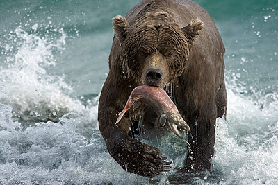 Grizzly Bear female with a spawned-out salmon along lake shore during fall storm - p8844460 by Matthias Breiter