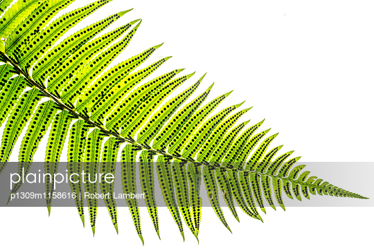 Macro of Fern Leaf - p1309m1158616 by Robert Lambert