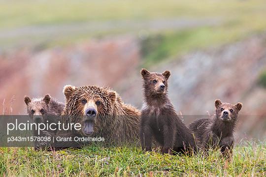 Family of Alaska Peninsula brown bears (Ursus arctos horribilis) in Katmai National Park and Preserve, Alaska, USA - p343m1578098 by Grant Ordelheide