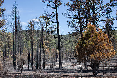 burned forest with some surviving greenery and chared trees - p1291m1548101 by Marcus Bastel