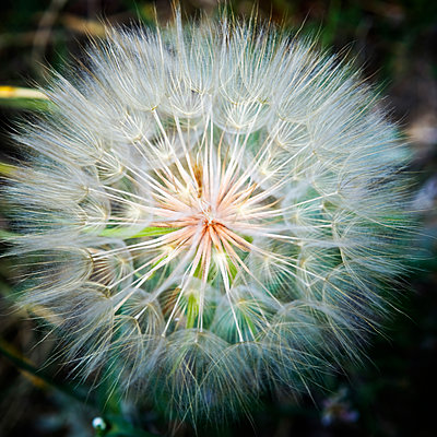 Close-up of a dandelion with seeds. - p343m1554737 by Ron Koeberer