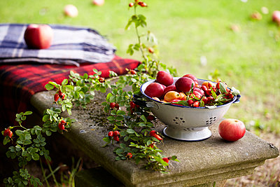 Foraged fruit and berries  Victoria Plums  Apples Rosehip   on a bench in garden with blankets - p349m2167897 by Sussie Bell