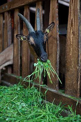 Goat - p441m886020 by Maria Dorner