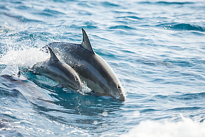 A young Spinner Dolphin (Stenella longirostris), leaps into the air beside it's mother, off the island of Lanai; Lanai, Hawaii, United States of America  - p442m1578788 by Dave Fleetham