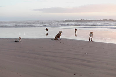 Dogs on a beach at dusk - p445m1552781 by Marie Docher