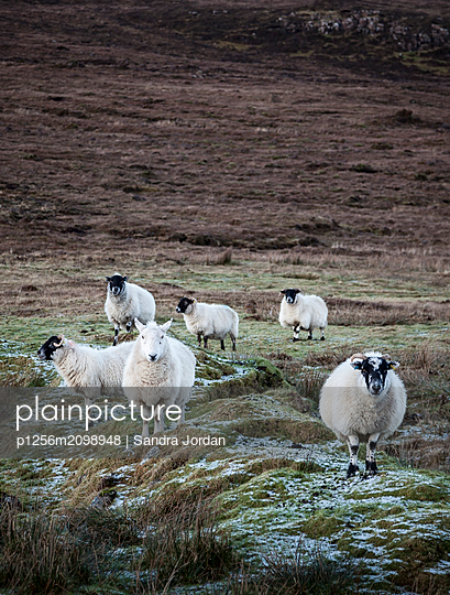 Sheep, Isle of Skye - p1256m2098948 by Sandra Jordan