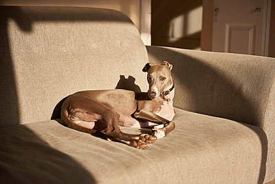 Grey whippet lying on sofa, portrait - p429m1569291 by J J D