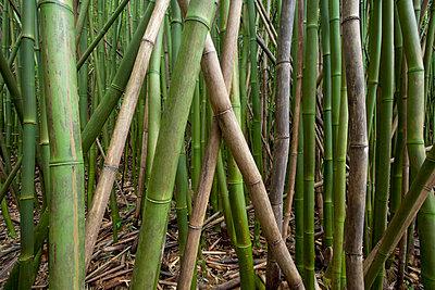 Hawaii, Maui, Hana, Closeup of green bamboo. - p442m860354 by Jenna Szerlag