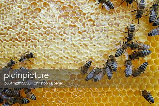 Wabe mit verdeckeltem Honig; Baubienen, Wächterbienen und Ammenbiene - p061m2015356 von Christoph Ebener