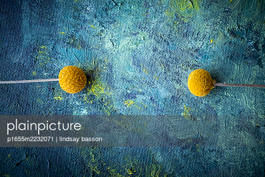 Billy Button Flowers on a Blue Background - p1655m2232071 by lindsay basson