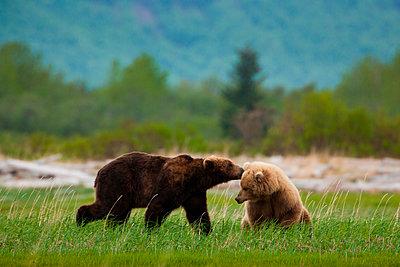 Brown bears - p1100m887949f by Art Wolfe