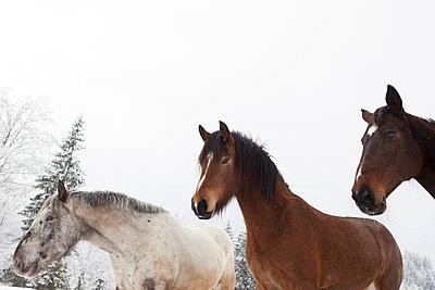 Drei Pferde im Winter - p435m755208 von Stefanie Grewel