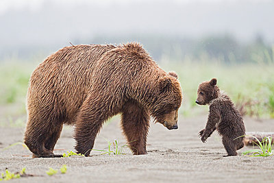 USA, Alaska, Lake Clark National Park and Preserve, Brown bear with cubs - p300m911246f by Fotofeeling