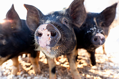 Close up of snouts of young pigs - p343m1475687 by John Benford
