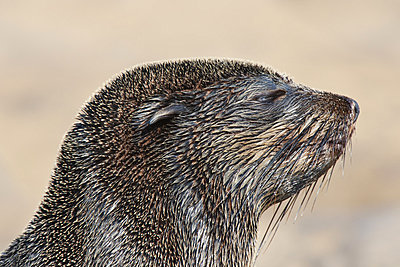 The head of a cape fur seal, Arctocephalus pusillus, at the beach on Cape Cross, National West Coast Recreation Area, Namibia - p1100m876597f by Frans Lanting