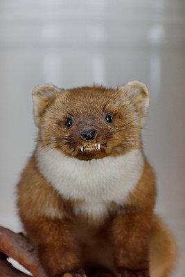 Stuffed animal, European pine marten - p1235m1526007 by Karoliina Norontaus