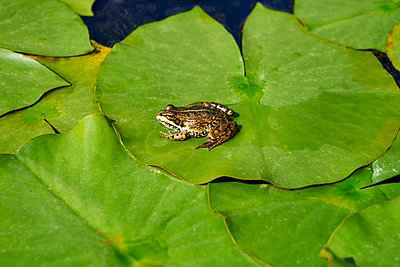 Single frosh on lily pads - p1312m2150474 by Axel Killian