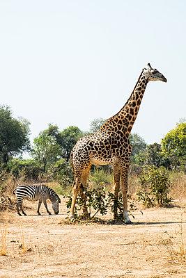 Giraffe und Zebra im Südluangwa-Nationalpark - p842m1538228 von Renée Del Missier