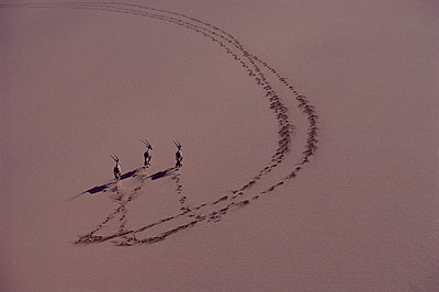 Oryx trio running on sand dune - p8840659 by Jim Brandenburg