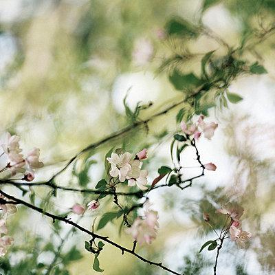 Cherry blossoms - p9490014 by Frauke Schumann