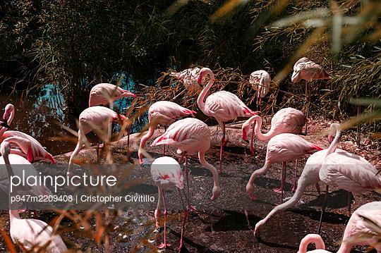 Flamingos - p947m2209408 by Cristopher Civitillo