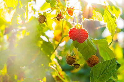 Close up of raspberries ripening - p555m1531648 by Aleksander Rubtsov