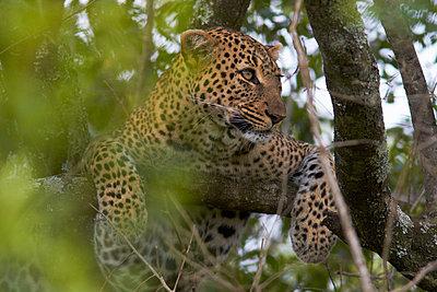 Leopard - p7190155 by Rudi Sebastian