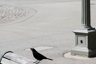 Blackbird perching on park bench - p758m1154866 by L. Ajtay