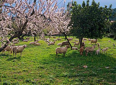 Schafe auf Weide - p8850216 von Oliver Brenneisen