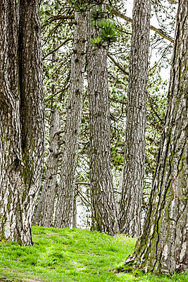 Kiefernwald - p248m1138796 von BY