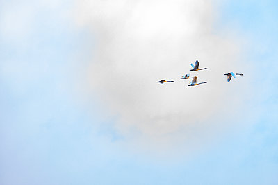 Birds flying against cloud - p1427m2163639 by Steve Smith