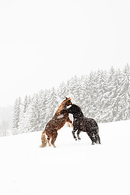 wild ponies - p1506m2027279 von Florian Thoss