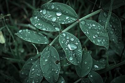 Rain drops on the leaves - p1623m2260263 by Donatella Loi