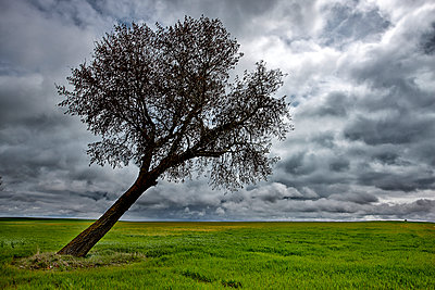 Spain, Province of Zamora, warped tree under cloudy sky - p300m999026f by David Santiago Garcia