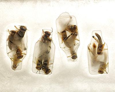 Grasshoppers in ice - p953m972555 by Benoit Audureau