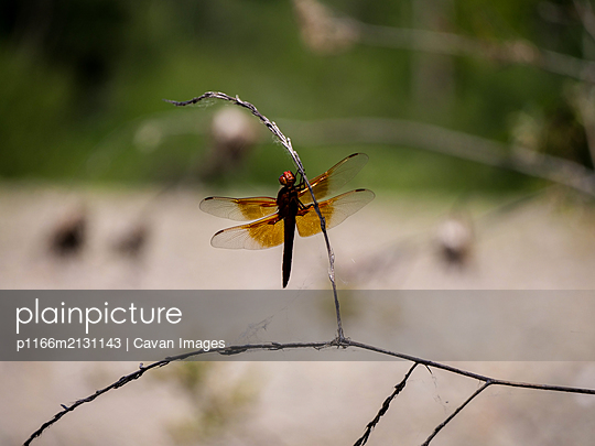 Dragonfly resting on branch - p1166m2131143 by Cavan Images
