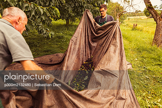 Two men during cherry harvest in orchard, collecting cherries in tarpaulin - p300m2132480 by Sebastian Dorn