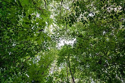 Tree canopy - p227m1074248 by Uwe Nölke
