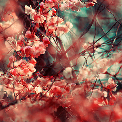 Kirschblüte Mehrfachbelichtung - p416m1060553 von Stephanie Jung