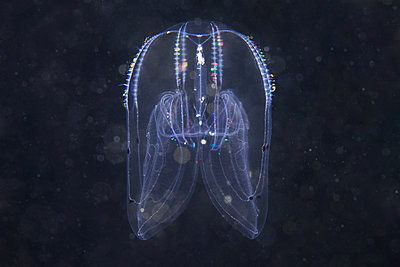 Bolinopsis comb jelly, Sea of Japan - p429m802260 by Cultura