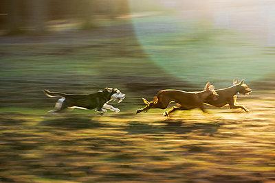 Spielende Hunde im Herbst - p739m1194629 von Baertels