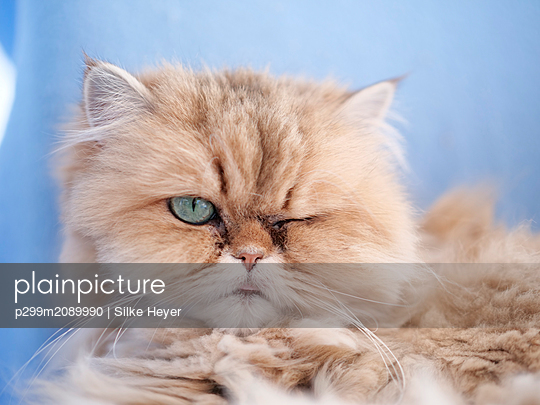 Cat, portrait - p299m2089990 by Silke Heyer