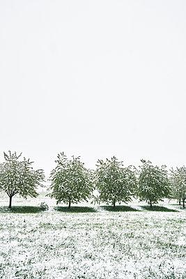 Kirschbäume auf einer Wiese im Frühling mit Schnee - p1312m2089660 von Axel Killian