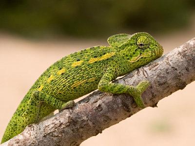Afrikanisches Chameleon, chameleo africanus - p1463m2231004 von Wolfgang Simlinger