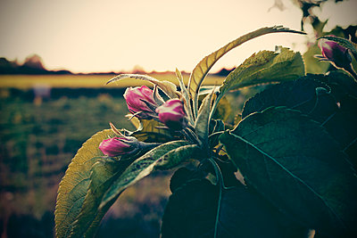 Germany, North Rhine-Westphalia, Minden, Apple blossoms - p300m929924f by Fotomaschinist