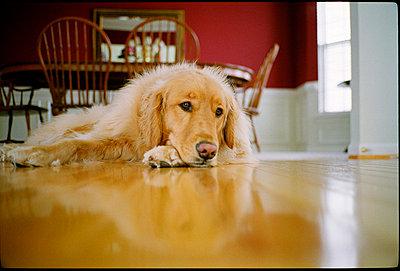 Golden retriever lays on wood floor - p3720332 by James Godman