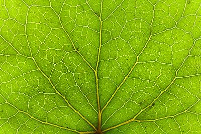 Detail eines grünen Blattes - p473m670439f by STOCK4B-RF