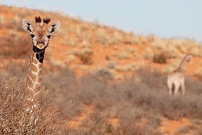 Giraffe - p1065m885927 von KNSY Bande