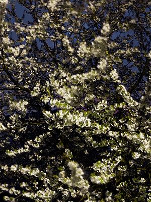 Kirschblüte Wind - p1312m1137696 von Axel Killian